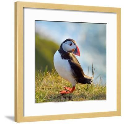 Puffin Standing On Grassy Cliff-geanina bechea-Framed Photographic Print