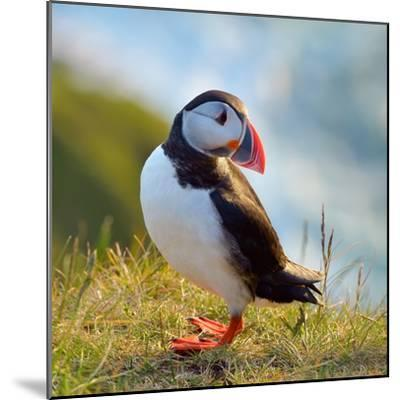 Puffin Standing On Grassy Cliff-geanina bechea-Mounted Photographic Print
