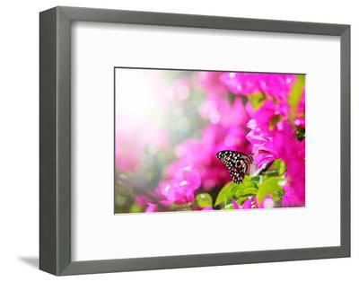 Majestic Morning Scene With Butterfly Feeding On Nectar Of A Bouganvillea Flower With Sunrays-smarnad-Framed Photographic Print
