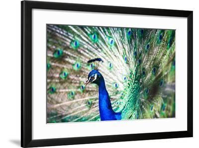 Splendid Peacock with Feathers Out (Pavo Cristatus)-l i g h t p o e t-Framed Photographic Print