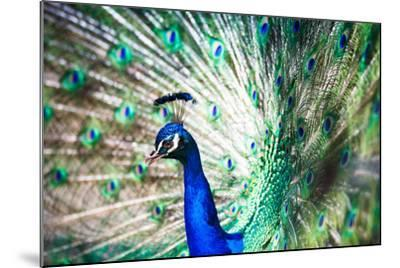Splendid Peacock with Feathers Out (Pavo Cristatus)-l i g h t p o e t-Mounted Photographic Print
