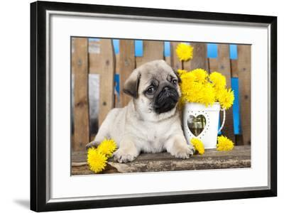 Pug Puppy And Spring Dandelions Flowers-Lilun-Framed Photographic Print