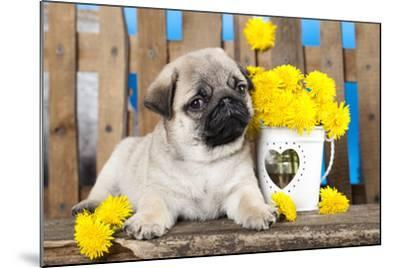 Pug Puppy And Spring Dandelions Flowers-Lilun-Mounted Photographic Print
