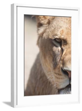 Close-Up Portrait Of A Majestic Lioness (Panthera Leo)-l i g h t p o e t-Framed Photographic Print