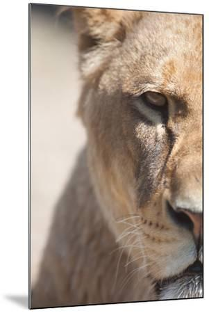 Close-Up Portrait Of A Majestic Lioness (Panthera Leo)-l i g h t p o e t-Mounted Photographic Print