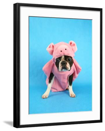 A Boston Terrier In A Pig Costume-graphicphoto-Framed Photographic Print