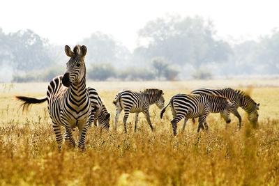 Zebra Herd In The Wild-Donvanstaden-Framed Photographic Print