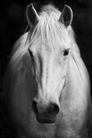 White Horse'S Black And White Art Portrait-kasto-Photographic Print