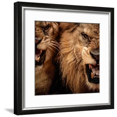 Close-Up Shot Of Two Roaring Lion-NejroN Photo-Framed Photographic Print