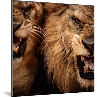 Close-Up Shot Of Two Roaring Lion-NejroN Photo-Mounted Photographic Print