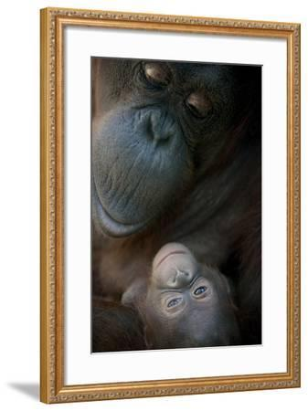 Mother Orangutan And Her Newborn Baby 1 Months - Pongo Pygmaeus-Life on White-Framed Photographic Print