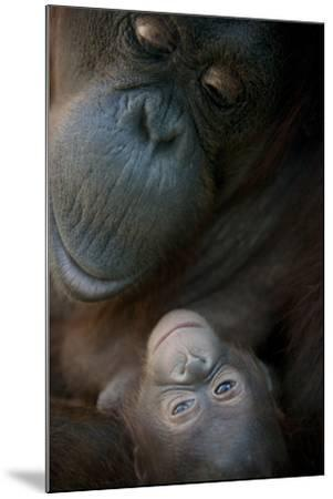 Mother Orangutan And Her Newborn Baby 1 Months - Pongo Pygmaeus-Life on White-Mounted Photographic Print