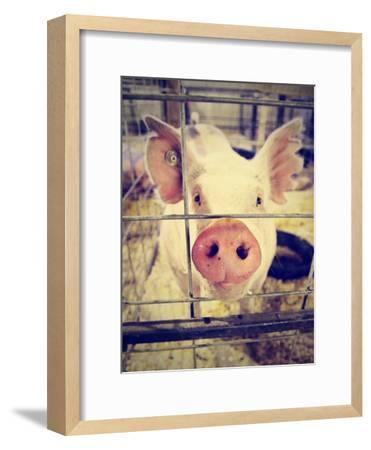 A Pig at a Local Fair-graphicphoto-Framed Photographic Print