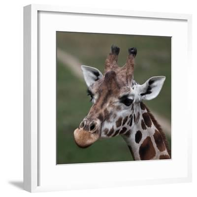 Giraffe - Close-Up Portrait Of This Beautiful African Animal-l i g h t p o e t-Framed Photographic Print