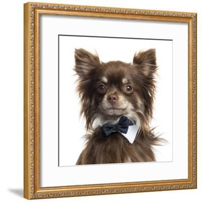 Close Up Of A Chihuahua Wearing A Bow Tie, Isolated On White-Life on White-Framed Photographic Print