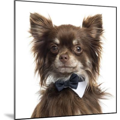 Close Up Of A Chihuahua Wearing A Bow Tie, Isolated On White-Life on White-Mounted Photographic Print