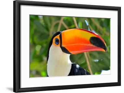 Toucan Outdoor - Ramphastos Sulphuratus-mirceab-Framed Photographic Print