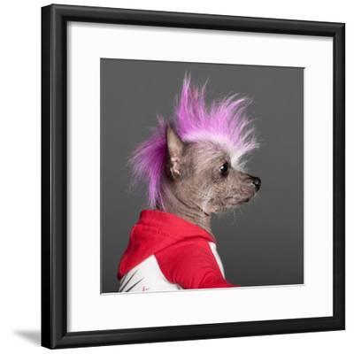 Close-Up Of Chinese Crested Dog With Pink Mohawk, 4 Years Old, In Front Of Grey Background-Life on White-Framed Photographic Print