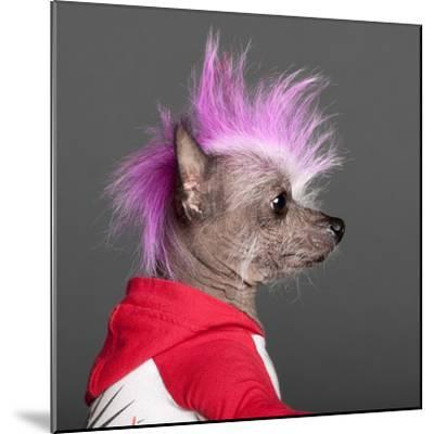 Close-Up Of Chinese Crested Dog With Pink Mohawk, 4 Years Old, In Front Of Grey Background-Life on White-Mounted Photographic Print