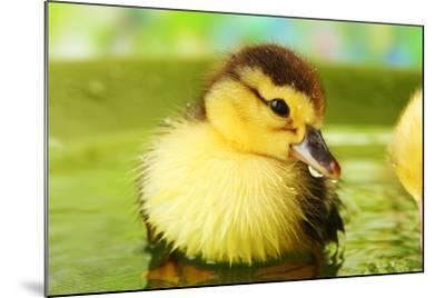 Cute Ducklings Swimming, On Bright Background-Yastremska-Mounted Photographic Print