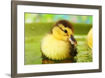 Cute Ducklings Swimming, On Bright Background-Yastremska-Framed Photographic Print