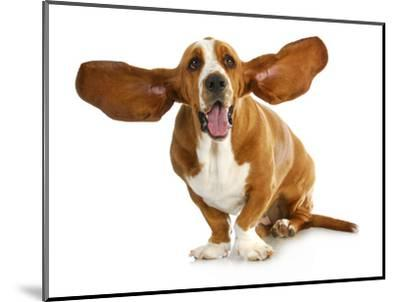 Happy Dog - Basset Hound With Ears Up-Willee Cole-Mounted Photographic Print