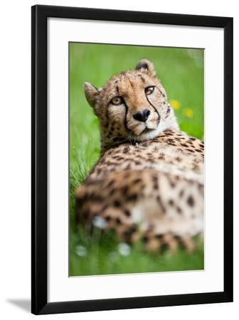 Cheetah (Acinonyx Jubatus)-l i g h t p o e t-Framed Photographic Print