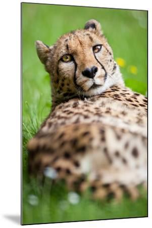 Cheetah (Acinonyx Jubatus)-l i g h t p o e t-Mounted Photographic Print
