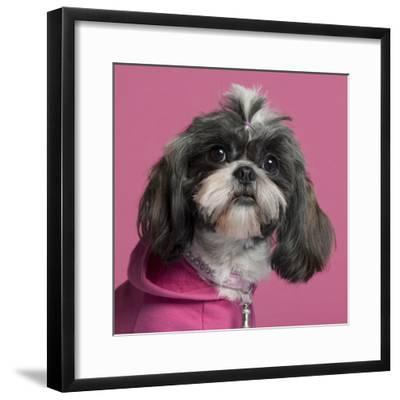 Close-Up Of Shih Tzu In Pink, 2 Years Old, In Front Of Pink Background-Life on White-Framed Photographic Print