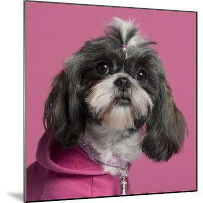Close-Up Of Shih Tzu In Pink, 2 Years Old, In Front Of Pink Background-Life on White-Mounted Photographic Print