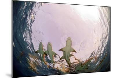 Lemon Sharks-Greg Amptman-Mounted Photographic Print