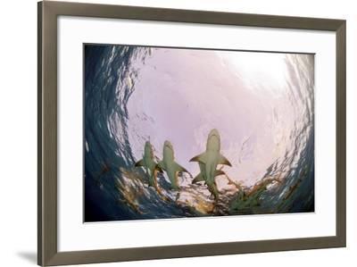Lemon Sharks-Greg Amptman-Framed Photographic Print