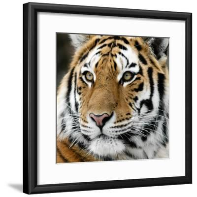 Tiger-nialat-Framed Photographic Print