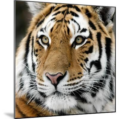 Tiger-nialat-Mounted Photographic Print