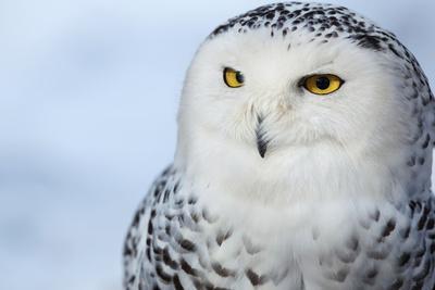 Snowy Owl (Bubo Scandiacus)-l i g h t p o e t-Framed Photographic Print