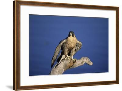 Falcon-outdoorsman-Framed Photographic Print