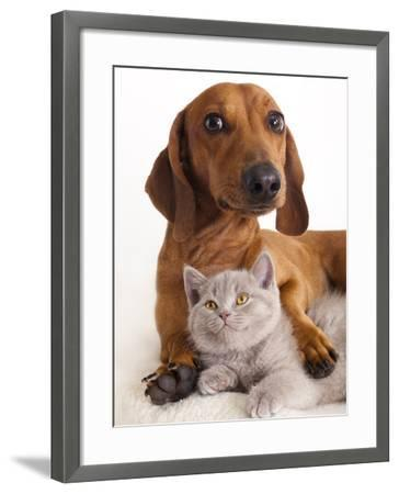 British Kitten  and Dog Dachshund-Lilun-Framed Photographic Print