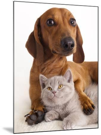 British Kitten  and Dog Dachshund-Lilun-Mounted Photographic Print