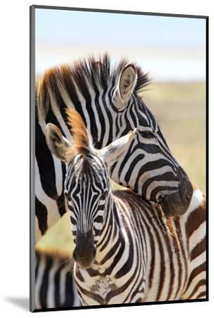 Baby Zebra with Mother-MattiaATH-Mounted Photographic Print