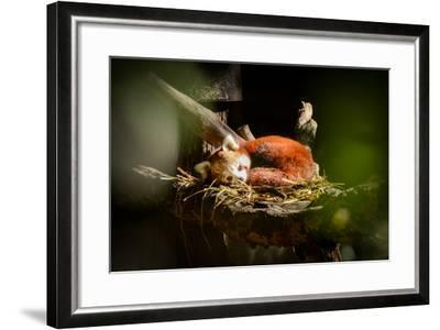Red Panda-_jure-Framed Photographic Print