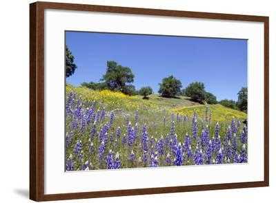 Lupines, California Poppies, and Oak Trees-coyote-Framed Photographic Print