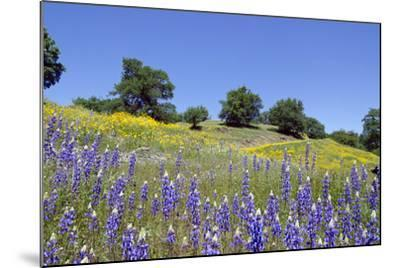 Lupines, California Poppies, and Oak Trees-coyote-Mounted Photographic Print