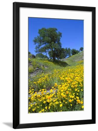 California Poppies and Oak Trees-coyote-Framed Photographic Print