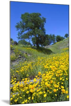 California Poppies and Oak Trees-coyote-Mounted Photographic Print
