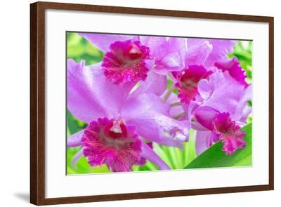 Cattleya Orchid-Island Leigh-Framed Photographic Print