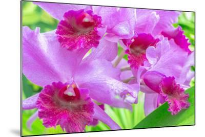 Cattleya Orchid-Island Leigh-Mounted Photographic Print