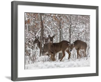Whitetail Deer-Lynn_B-Framed Photographic Print