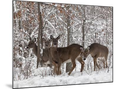 Whitetail Deer-Lynn_B-Mounted Photographic Print