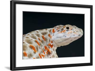 Leopard Lizard / Gambelia Wislizenii-Matthijs Kuijpers-Framed Photographic Print