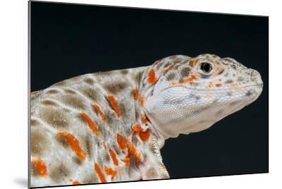 Leopard Lizard / Gambelia Wislizenii-Matthijs Kuijpers-Mounted Photographic Print